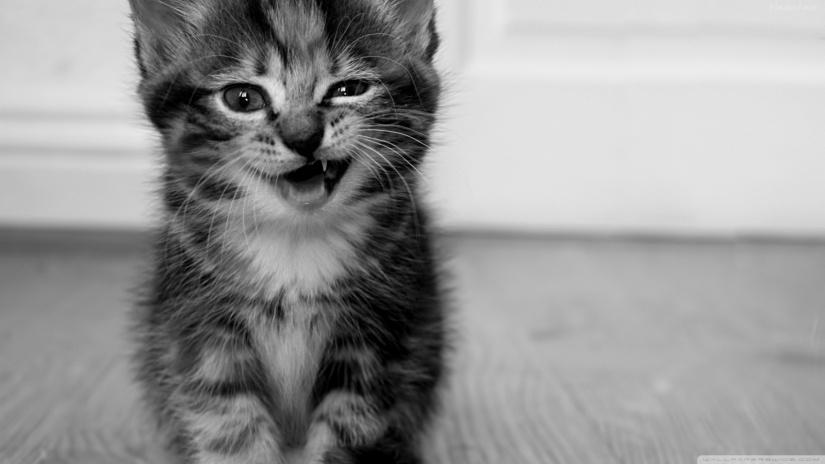 funny_kitten-wallpaper-1600x900